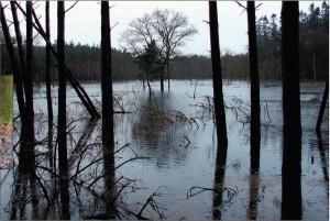 Door de hindernissen in de beek ontstaan grote watervlaktes in het bos. (foto Gert Jan Blankena)