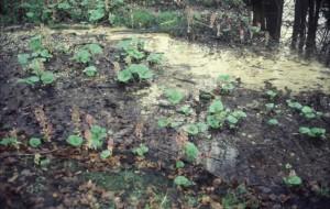 Groot hoefblad in bloei in januari bij vriezend weer